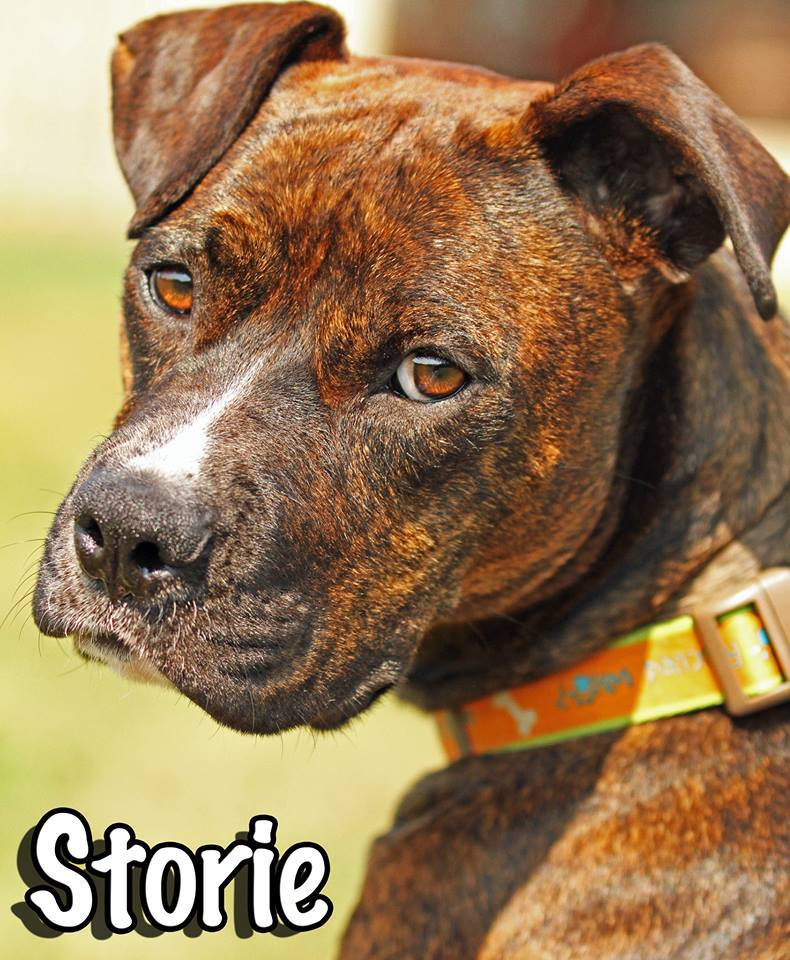 Storie the pregnant dog