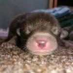 Der Mensch rettet winzige Welpen, erkennt dann aber, dass es sich definitiv nicht um Hunde handelt
