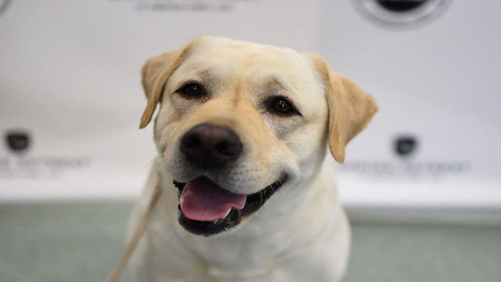 Labradors bark loudly to get help