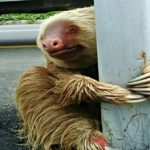 Man Sees Sloth On Road. He Doesn't Hesitate