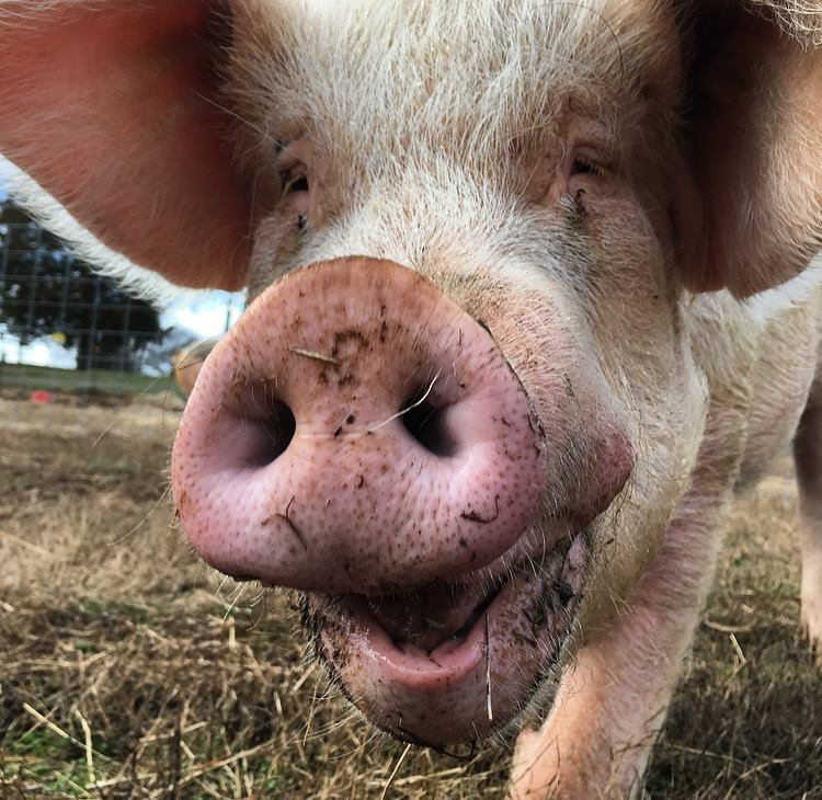 Farmer Follows Nervous Pig, Calls For Help When He Sees Where He's Taking Him