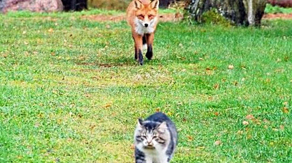 Homeowner Panics As Fox And Cat Have A Standoff In The Middle Of The Road