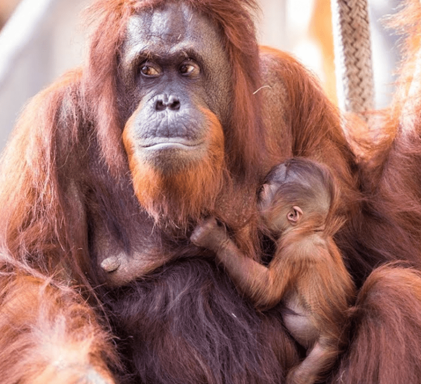 What Happened When An Orangutan Mother And Her Baby Were Reunited