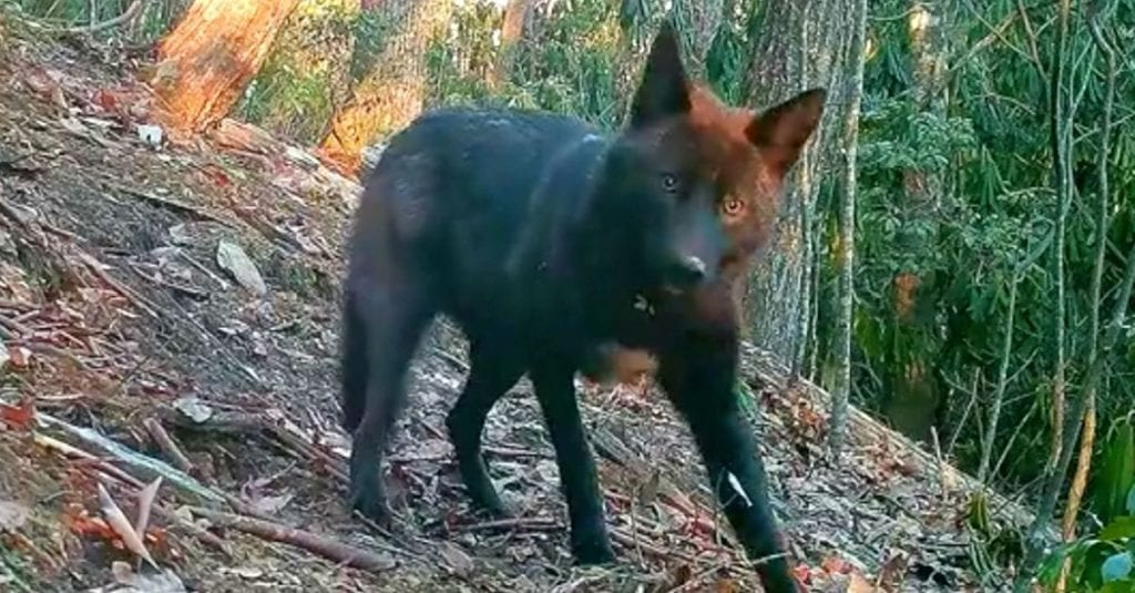 Dad Sets Up Camera In Backyard, Records One Of Rarest Animals In America