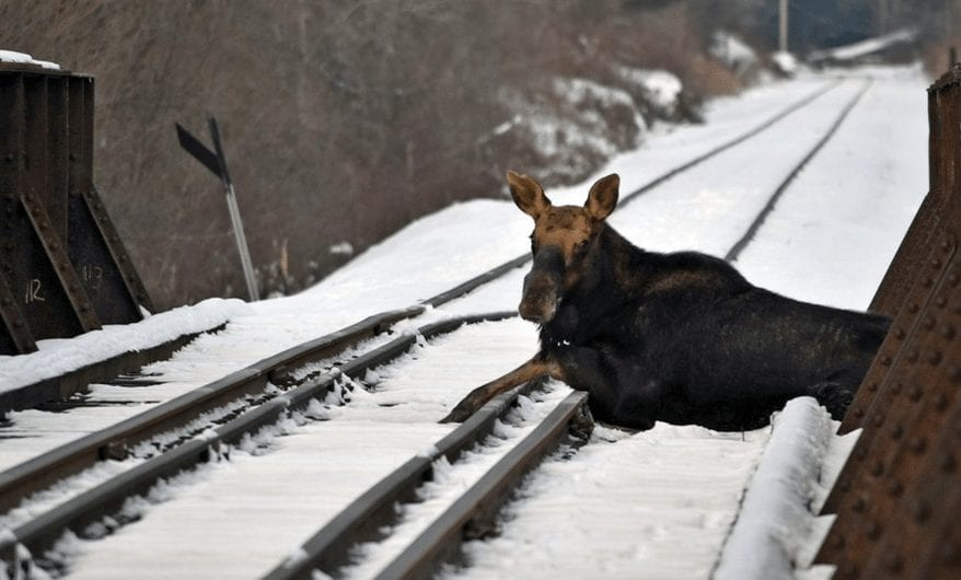 Nobody Can Save Moose On Railroad Tracks, Then A Voice From The Back Speaks Up