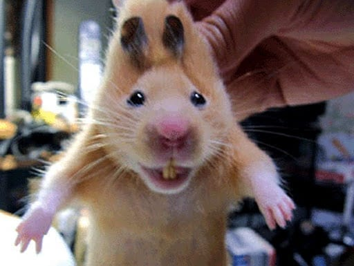 Hamster Refuses To Have Teeth Clipped, Man Doesn't Notice What's In His Mouth