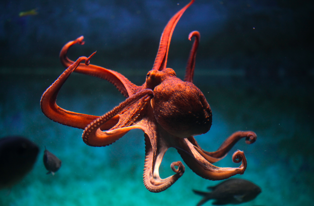 What color blood does an octopus have?