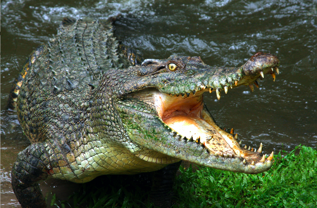 How long can a crocodile hold their breath for?