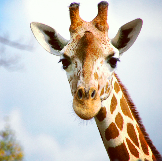 Giraffes spend their day mostly doing what?