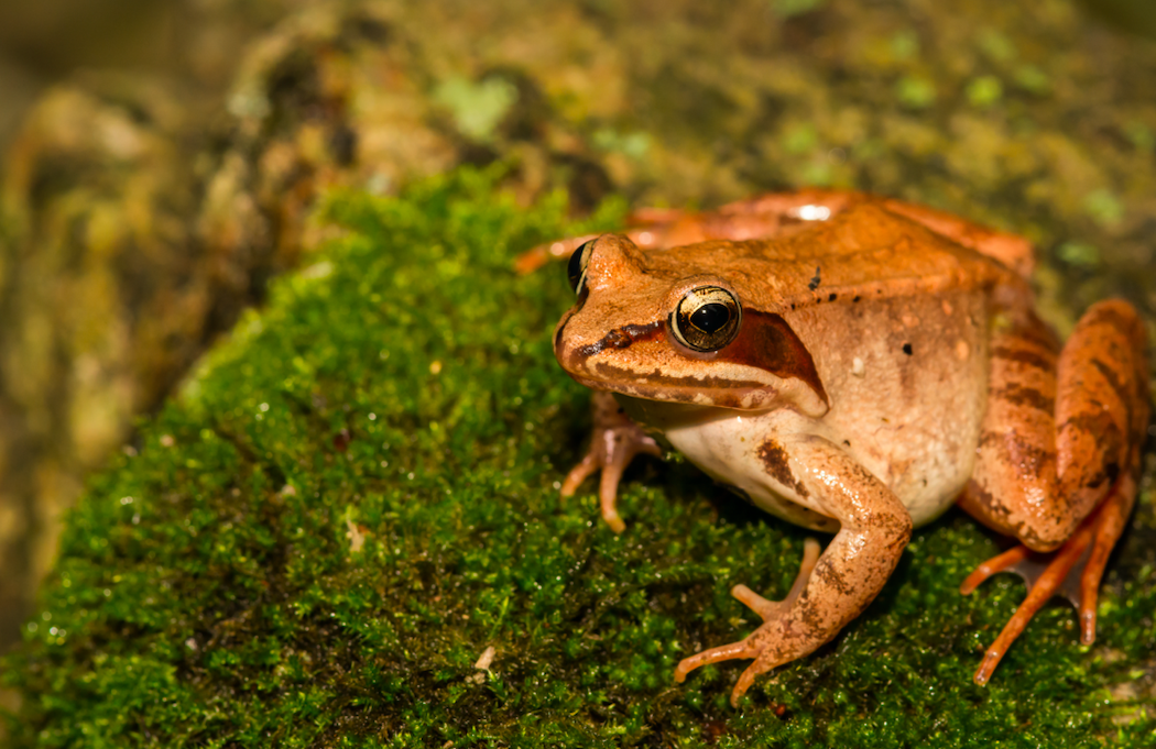 The wood frog can hold his pee for how long?