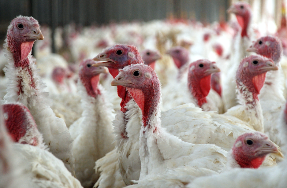 Which state produces more turkeys than any other?