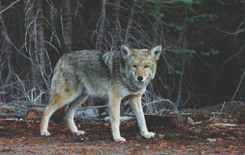 How Many Syllables Does The Word Coyote Have?