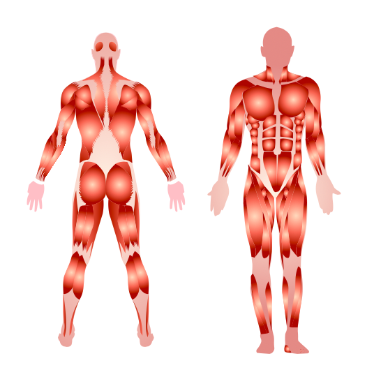 The human body has how many muscles?