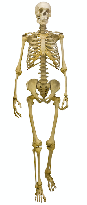 What is the largest bone in the body?