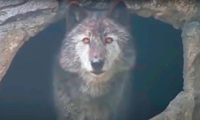 Woman Finds Trapped Wolf, But Doesn't Realize Pack Is Close By